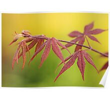 maple leaves in spring Poster