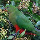 Female King Parrot Bird by stevealder