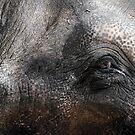 Elephant Eye by Christina Backus