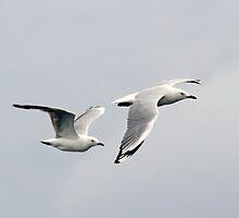 Silver Gulls (Chroicocephalus novaehollandiae) by Laurakeet
