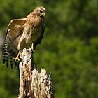 Hawk Resting on  Dead Tree by imagetj