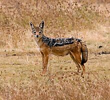 Black backed Jackal by Valerija S.  Vlasov