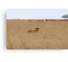 Lioness Hunting Canvas Print