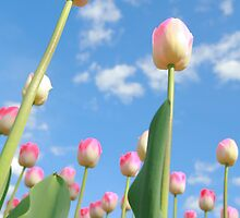Pink and White Tulips 02 by Keith Thomson