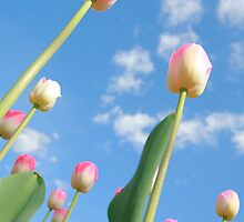 Pink and White Tulips 03 by Keith Thomson