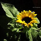 sunflower by MJD Photography  Portraits and Abandoned Ruins