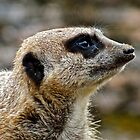 Meerkat (1) by Hayley Musson