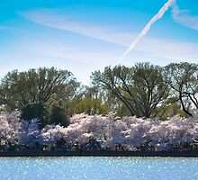 Cherry Blossom at Potomac River by Gustavo Bernal