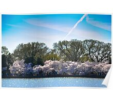 Cherry Blossom at Potomac River Poster