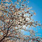 Cherry Blossom 2 by Gustavo Bernal