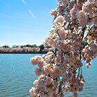 Cherry Blossom 3 by Gustavo Bernal