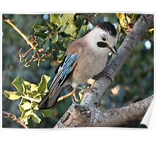 Large Jay Poster