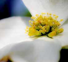 Dogwood Two by Kathleen Horner