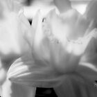 Daffodil in Black and White by Kathleen Horner