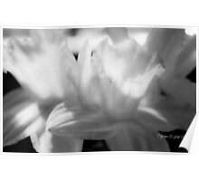 Daffodil in Black and White Poster