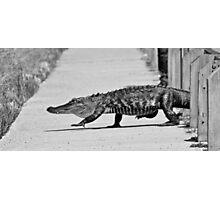Gator Walking Photographic Print