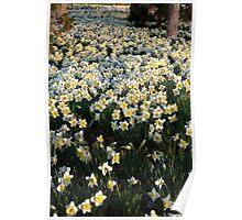 Mottled Daffodils Poster