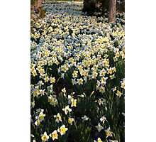 Mottled Daffodils Photographic Print