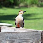 Florida red bellied woodpecker Bird Nature Photography by Rick Short