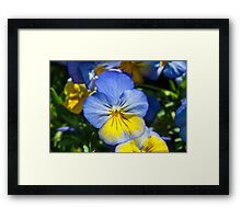 Blue and Yellow Pansy Framed Print