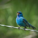 Indigo Bunting by photodug