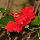 Red Hibiscus Flower by Cynthia48