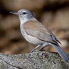 Grey Shrike-thrush - Tasmania by mosaicavenues