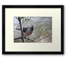 Tufted titmouse perched in a pine tree Framed Print