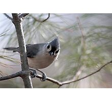 Tufted titmouse perched in a pine tree Photographic Print