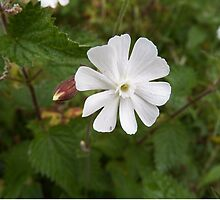 White Campion Flower by Deb Vincent