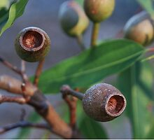 Corymbia nuts by Anny Arden