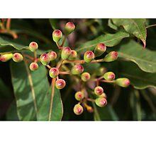 Red Eucalyptus Flower Buds Photographic Print
