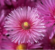 Pink Pigface Flowers by Joy Watson