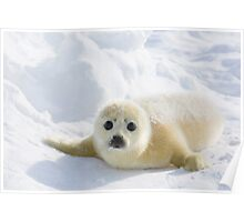 Cute Baby Seal Poster