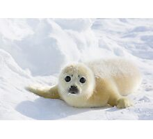 Cute Baby Seal Photographic Print