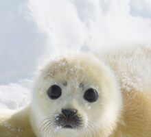 Cute Baby Seal Sticker