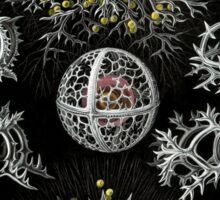 Haeckel Stephoidea Sticker