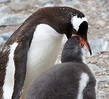 "Gentoo Penguin and Chick ~ ""Pre-packaged Krill"" by Robert Elliott"