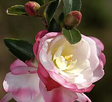 Camellias in May by Joy Watson