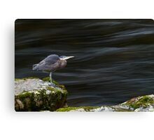 Great Blue Heron at the Capilano River Canvas Print