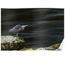 Great Blue Heron at the Capilano River Poster