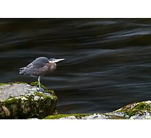 Great Blue Heron at the Capilano River Photographic Print