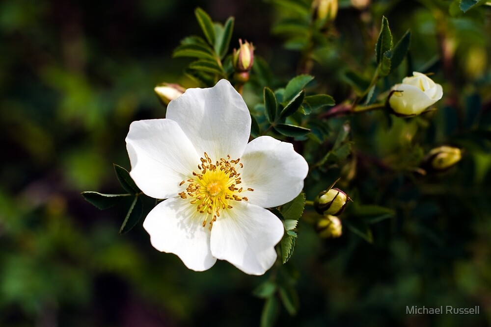 Burnet/Scotch Briar Rose (Rosa spinosissima) by Michael Russell