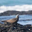 Brown Noddy Calling by byronbackyard