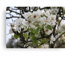 Beautiful Apple Blossom Canvas Print