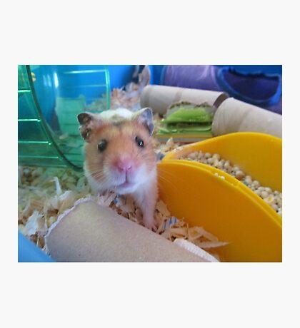 Hamster Photographic Print