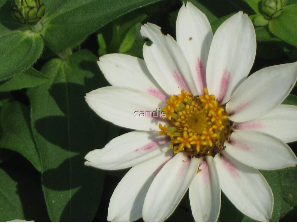 Daisy by candis