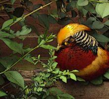 Golden Pheasant Sticker
