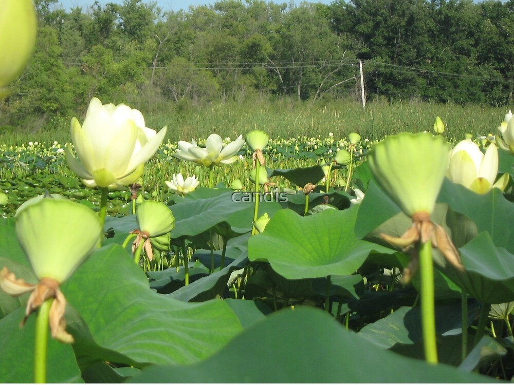 Lotus Patch by candis