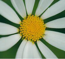 White flower macro by lalylaura